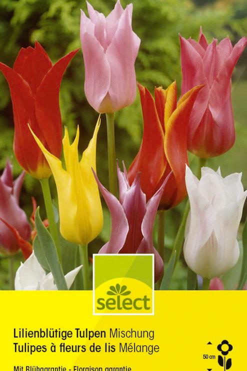 Lilienblütige Tulpen, Mischung - Tulipa