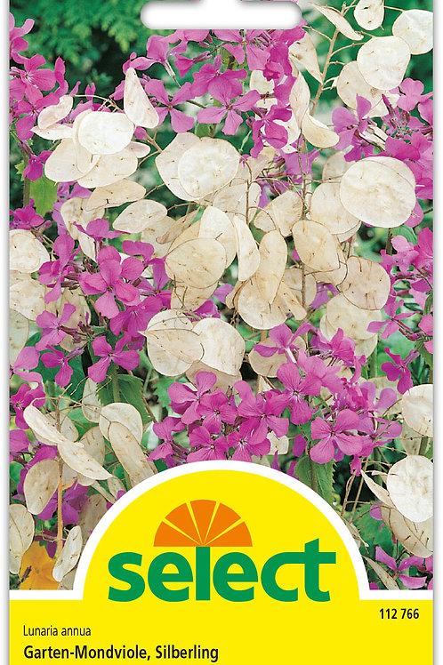 Garten-Mondviole, Silberling - Lunaria annua