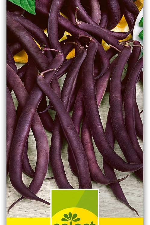 Buschbohne 'Purple' - Phaseolus vulgaris L. var. nanus