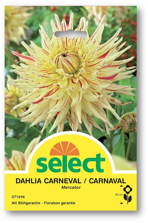 Dahlien 'Mercator' - Dahlia Carneval