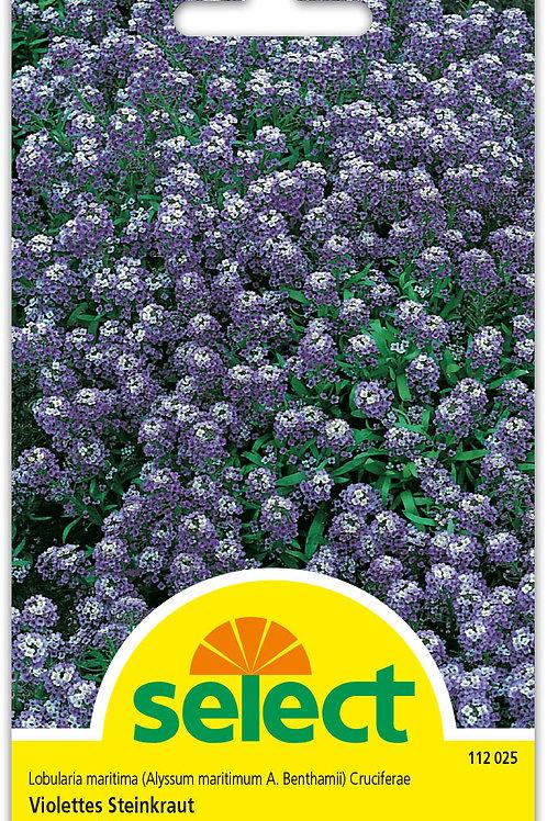 Steinkraut, violett - Lobularia maritima