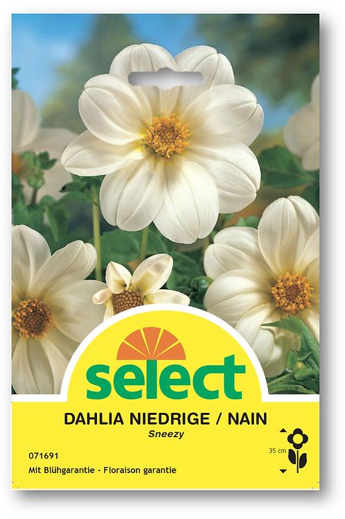 Dahlien 'Sneezy' - Dahlia Niedrige