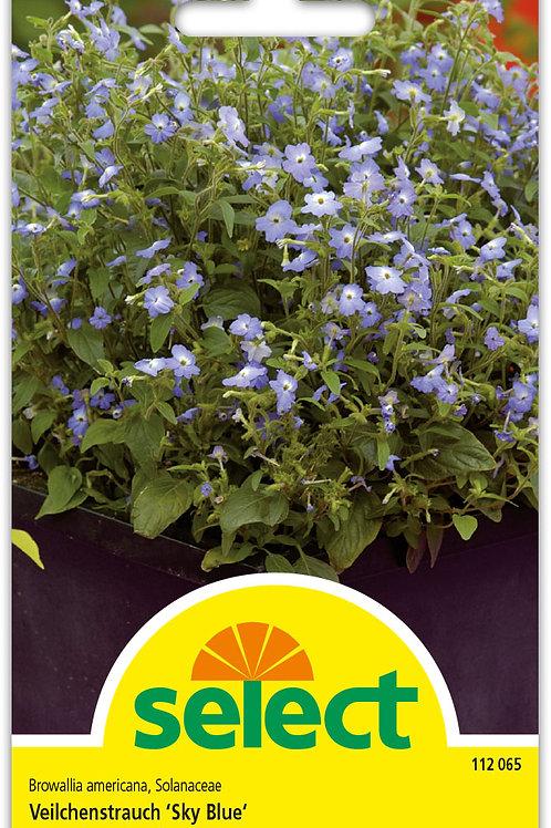 Veilchenstrauch 'Sky Blue' - Browallia americana, Solanaceae