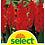 Thumbnail: Gladiolen, rot, Grosspackung - Gladiolus