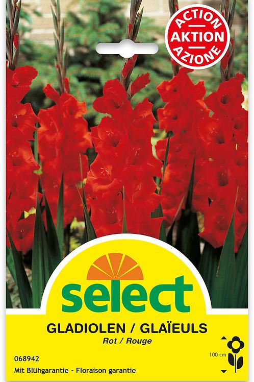 Gladiolen, rot, Grosspackung - Gladiolus