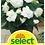 Thumbnail: Begonie, weiss - Begonia tuberhybrida