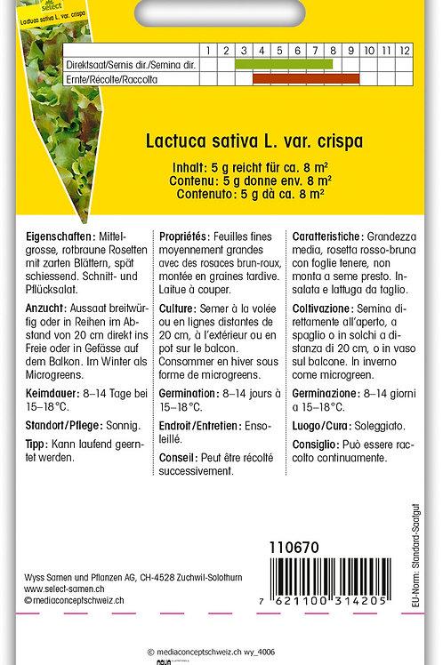 Pflücksalat 'Amerikanischer Brauner' - Lactuca sativa  var. crispa