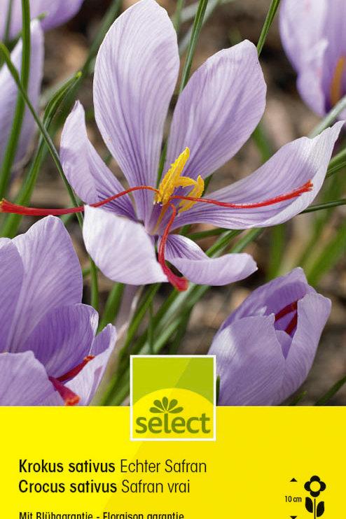 Echter Safran - Crocus sativus