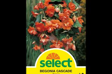 Begonie 'Cascade', orange