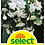 Thumbnail: Begonie 'Cascade', weiss - Begonia pendula