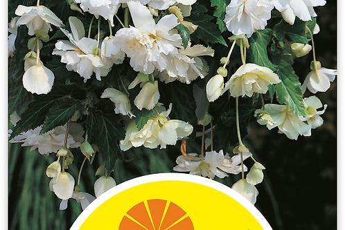 Begonie 'Cascade', weiss - Begonia pendula