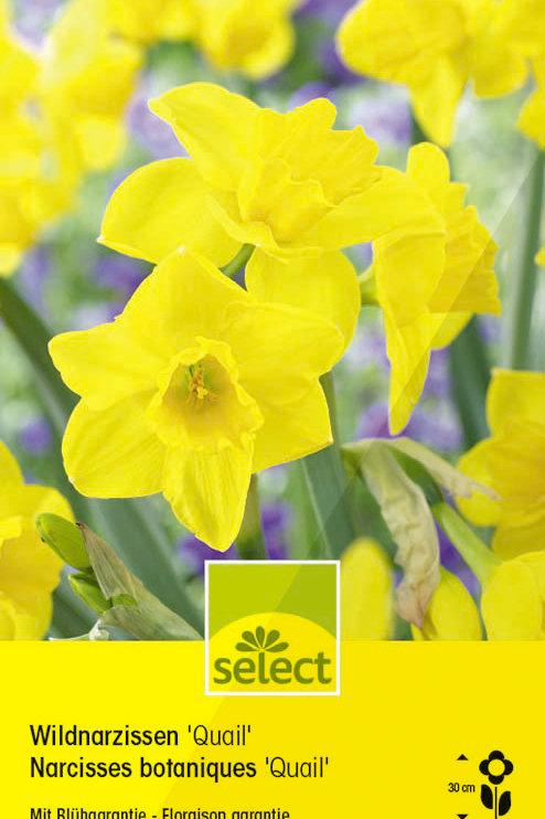 Wild-Narzissen'Quail' - Narcissus