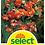 Thumbnail: Begonie 'Cascade', orange - Begonia pendula