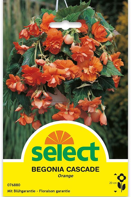 Begonie 'Cascade', orange - Begonia pendula
