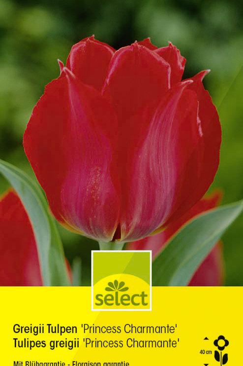Greigii Tulpen 'Princess Charmante' - Tulipa