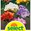 Thumbnail: Freesia Farbenmischung, gefüllt - Freesia-Hybriden