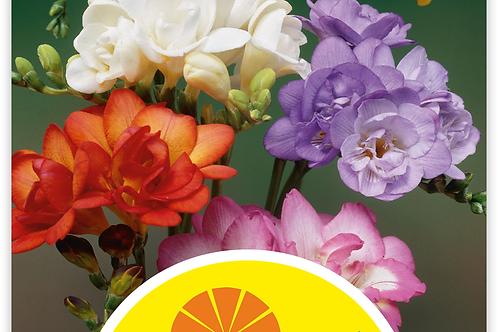 Freesia Farbenmischung, gefüllt - Freesia-Hybriden