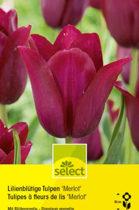 Lilienblütige Tulpen 'Merlot'