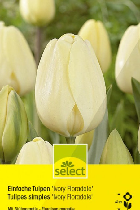Einfache Tulpen 'Ivory Floradale'
