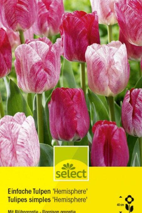 Einfache Tulpen 'Hémisphère'