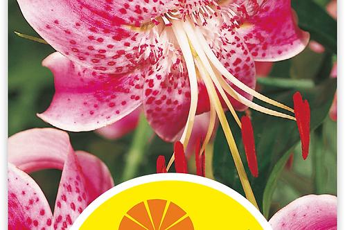 Orientalische Lilien 'Speciosum Rubrum' - Lilium Liliaceae