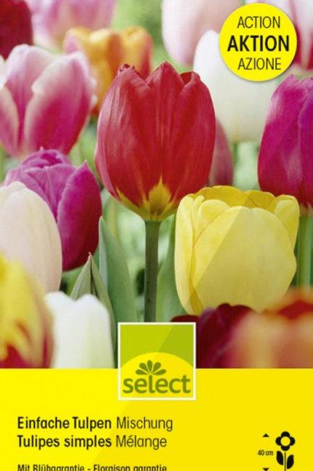 Einfache Tulpen, Mischung Riesenpackung