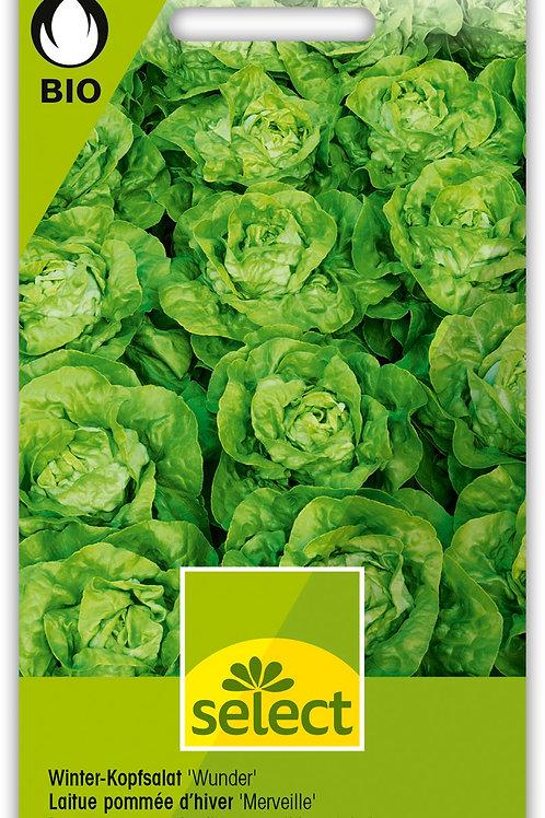 Winter-Kopfsalat 'Wunder' - Lactuca sativa  var. capitata
