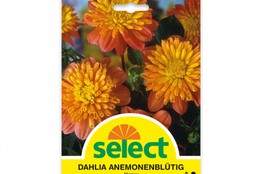 Anemonenblütige Dahlie 'Honey'