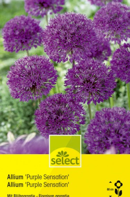 Allium aflatunense 'Purple Sensation'