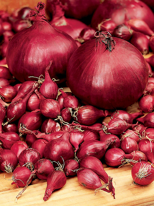 Steckzwiebel 'Rote', 250 g - Allium cepa