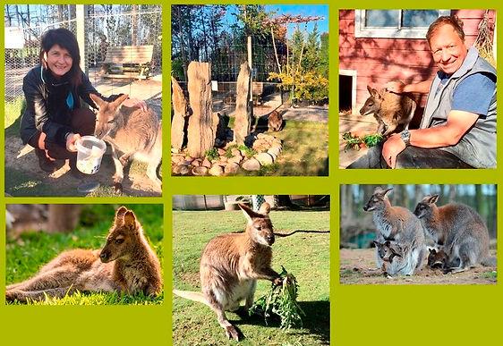 Wallabys_-_Unser_Känguru_Park.jpg