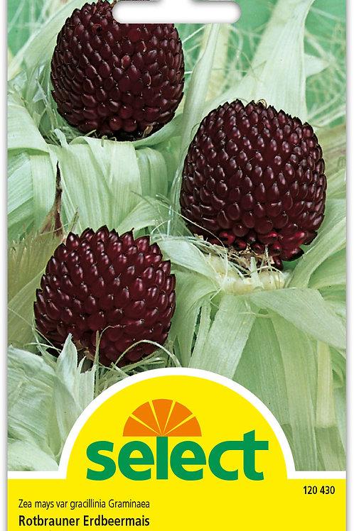 Rotbrauner Erdbeermais - Zea mays var. gracillinia