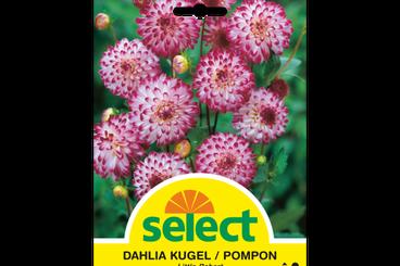 Pompon Dahlie 'Little Robert'