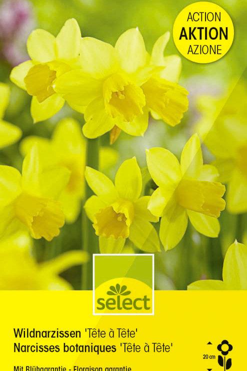 Alpenveilchen-Narzissen 'Tête à tête', Grosspackung - Narcissus