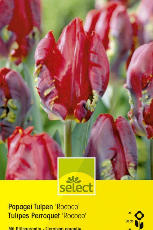 Papageien Tulpen 'Rococo' - Tulipa