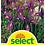 Thumbnail: Holländische Iris 'Purple Sensation' - Iris-Hollandica-Hybriden