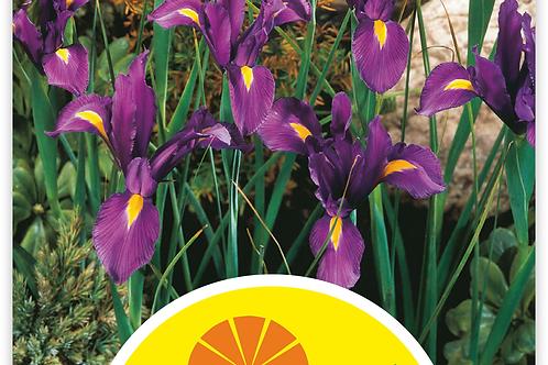 Holländische Iris 'Purple Sensation' - Iris-Hollandica-Hybriden