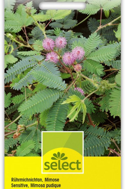 Rührmichnichtan, Mimose