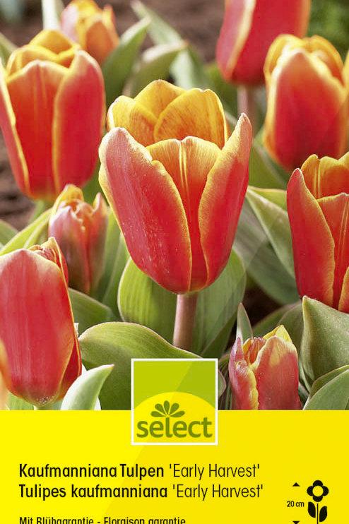 Kaufmanniana Tulpen 'Early Harvest' - Tulipa kaufmanniana