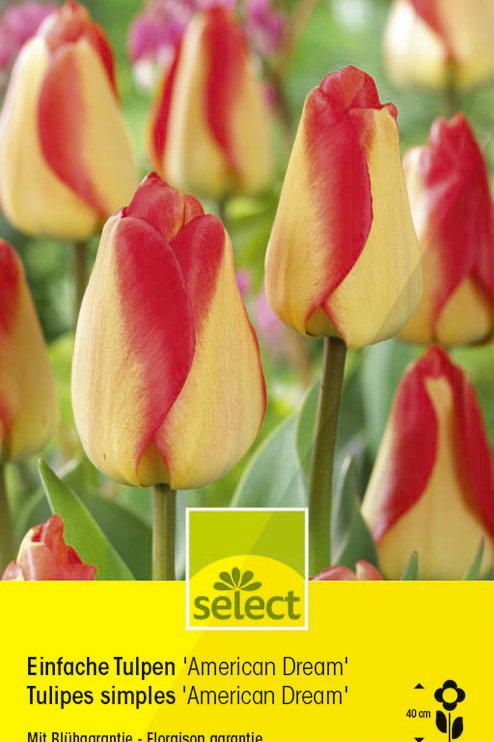Einfache Tulpen 'American Dream' - Tulipa