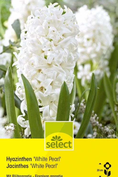 Hyazinthen 'White Pearl' - Hyacinthus orientalis