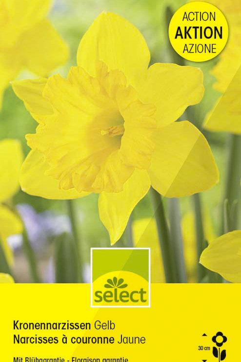 Kronen-Narzissen, gelb, Riesenpackung - Narcissus