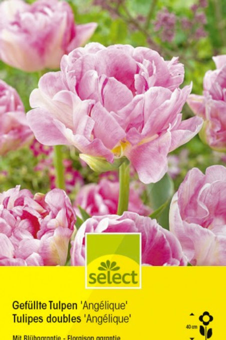 Gefüllte Tulpen 'Angélique'