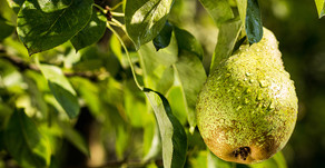 POETIC PEAR: IF KING LOUIS XIV APPROVES, WHY WOULD YOU RESIST THIS REGAL FRUIT?