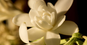 TUBEROSE: SO SEDUCTIVE AND TEMPTING IT WAS ONCE BANNED.