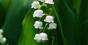 MUGUET: USHER IN HAPPINESS AND GOOD LUCK.