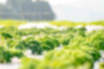karuizawa  腸活 妊活 便秘 軽井沢プラス ケール ドレッシング 野菜 販売 ハーブ 料理 レシピ ハーブティー 入浴剤 バスハーブ 紅茶 発地市場 便秘 酸化防止 血糖値 美肌