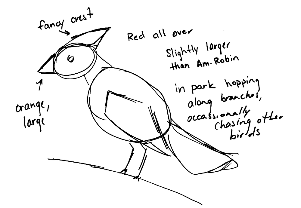 Rough sketch of cardinal. Notes from upper left, going clockwise: Fancy crest, red all over, slightly larger than Am. Robin, In park hopping along branches, Occasionally chasing other birds, Orange/Large