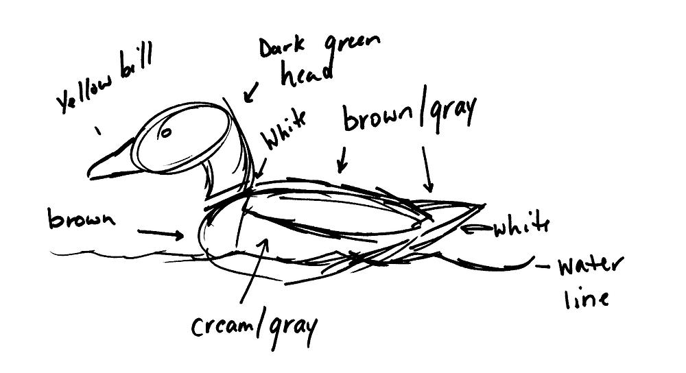 Rough sketch of male mallard duck. Notes from upper left going clockingwise: Yellow bill, dark green head, white, brown/gray, white, water line, cream.gray, brown