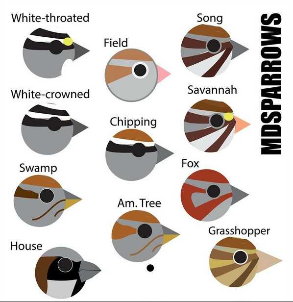 Simplified drawings of the head patterns of several sparrow species. Credit to Richard Edden.